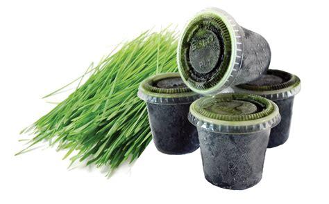 Wheatgrass Detox Diet Plan by Summer Cleanse Wheatgrass Foods