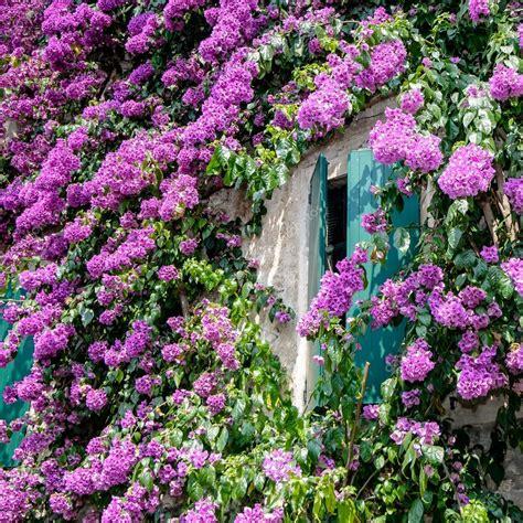 fiori di italia fiori di bouganville a sirmione lago di garda italia