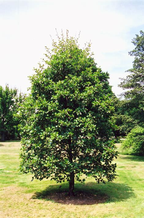 Dark Green Foliage Plants - common alder alnus glutinosa in edmonton sherwood park spruce grove st albert alberta ab at