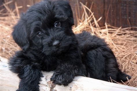 a yorkie poo yorkie poo puppies rescue pictures information temperament characteristics