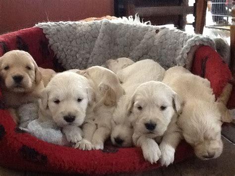 golden retriever breeders in central pa puppy golden retriever for sale