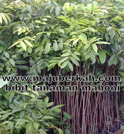 Bibit Jati Gajah harga tanaman mahoni tanamanbaru