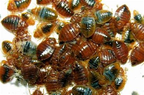 How Can You Kill Bed Bugs by Bed Bug Killer Spray A Low Cost Extermination To Kill
