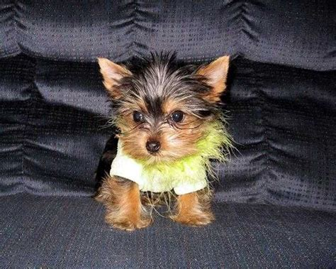 micro teacup yorkie for adoption 17 best ideas about micro teacup yorkie on micro teacup dogs yorkie