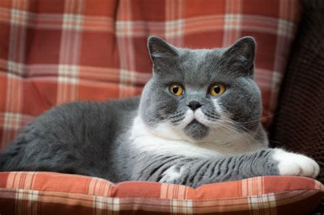 British Shorthair Cat Breed Information, Pictures
