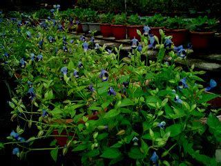 Benih Biji Bunga Torenia Blue Wishbone wings dalam hati ada taman maha mahu makan