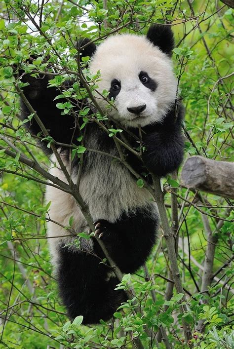 kaos animal panda white 17 best images about of nature on white