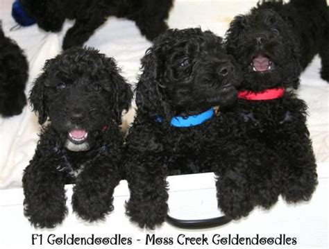 black goldendoodle puppies for sale miniature black goldendoodle puppies for sale breeds picture