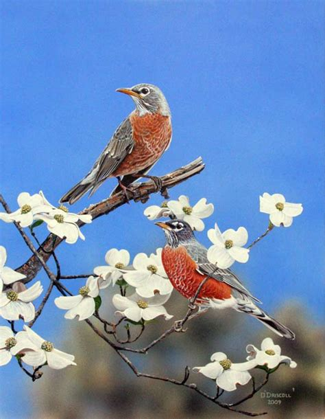 Robins O O robins on dogwood an acrylic painting by wildlife artist danny o driscoll