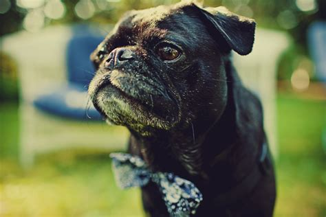 pug in a bow tie diy wedding in portland maine