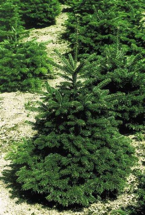 Planter Sapin Nordmann by Planter Sapin De No 235 L