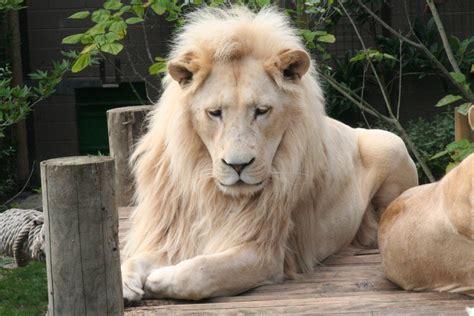 imagenes de leones misticos leon sudafricano