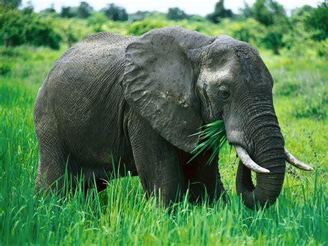 elephant pictures elephant pics elephant information
