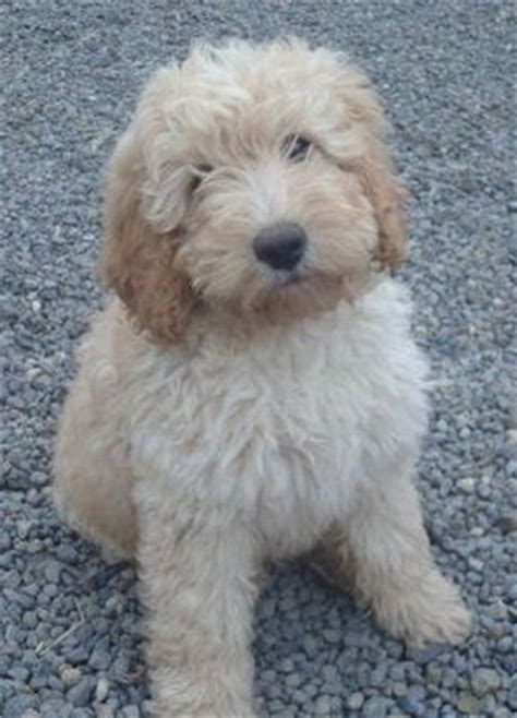 mini doodle rescue labradoodles puppys and goldendoodles on