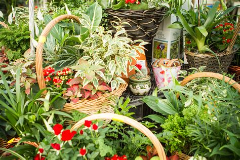 indoor flowering plants hollybush garden centre