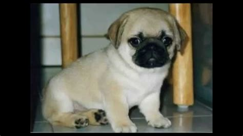 show me pictures of pugs pugs pictures