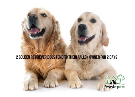 abc golden retrievers review 2 golden retriever dogs tend to their fallen owner for 2 days lifestyle pets all