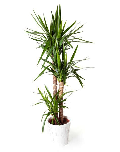 plantas interior planta yuca regalos plantas de interior plantas en