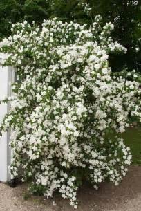white flowering shrub philadelphus manteau d hermine plant flower stock
