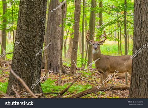 how to gut a buck in the woods whitetail deer buck standing in a woods stock photo