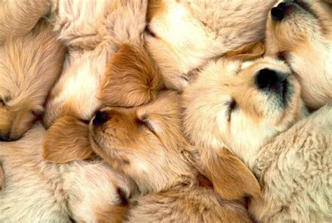 golden retriever puppy sleeping habits sleeping golden retriever puppies wallpaper hd for desktop m5x eu