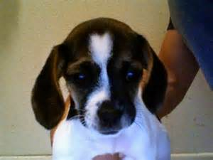 beagle and pug mix for sale pug cross beagle breeds picture
