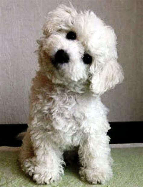 best hypoallergenic dogs top 10 best hypoallergenic breeds breeds picture