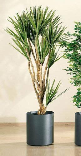 Ficus Interior Rincones Para Tus Plantas De Interior