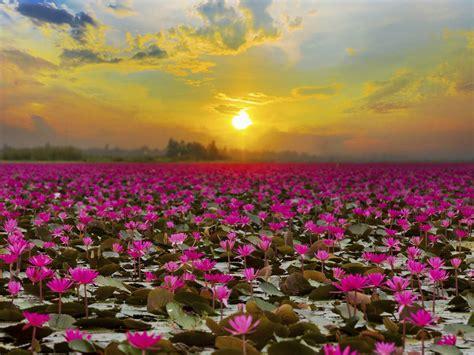 lake lotus lake  udon thani thailand tropical flower