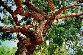 phd advisor tree neem tree extract demonstrates anticancer activity against
