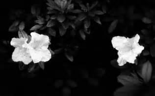 black flower black and white wallpapers white flowers on black background wallpaper