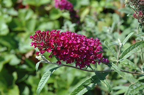 queen  hearts butterfly bush buddleia queen  hearts