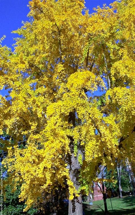 ginkgo tree   tree guide  arbordayorg