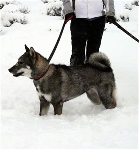 shikoku puppies for sale shikoku cost