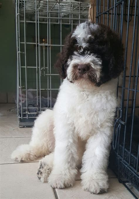 lagotto romagnolo puppies for sale lagotto romagnolo puppies manchester greater manchester pets4homes