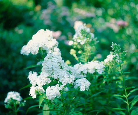 david garden phlox p allen smith