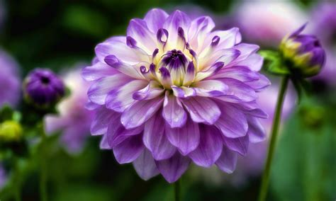 dahlia flower hd wallpapers hd wallpapers high
