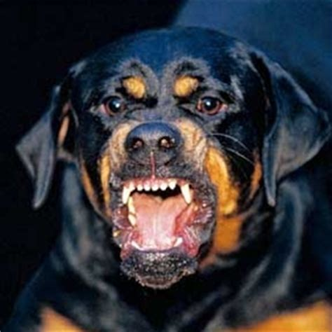 rottweiler aggression rottweiler fear aggression
