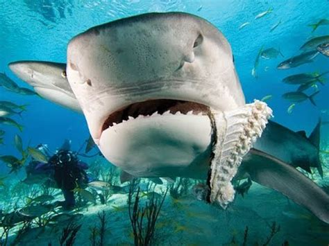 enorme tiburon se   otro en  acuario youtube