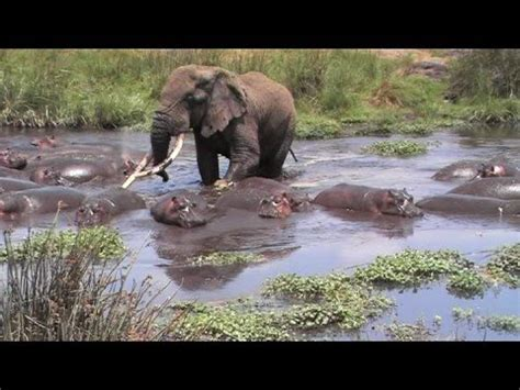 angry hippo chases tour boat hippos videolike