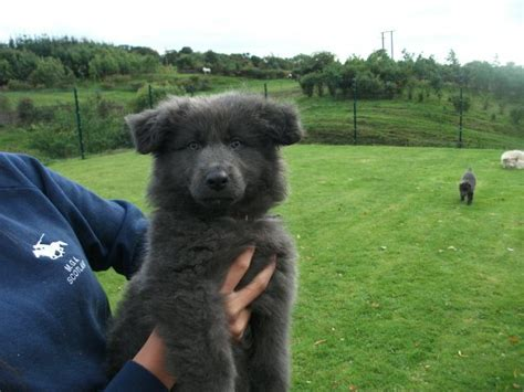 blue german shepherd puppies for sale stunning blue german shepherd puppies airdrie lanarkshire pets4homes