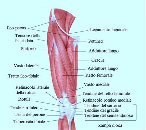 dolori interno coscia quadricipite gastrocnemio e altri muscoli di coscia e gamba