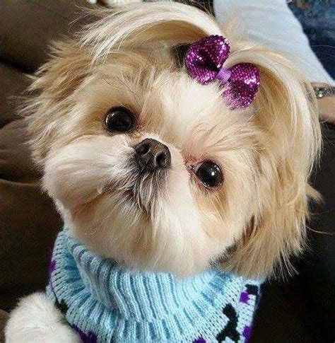 how to trim shih tzu beyond the puppy cut shih tzu hair styles iheartdogs