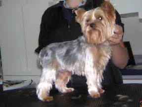 types of yorkie haircuts types of yorkie haircuts styles hairstylegalleries com