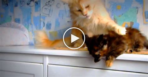 kitten    jump  protective cat mom  stern