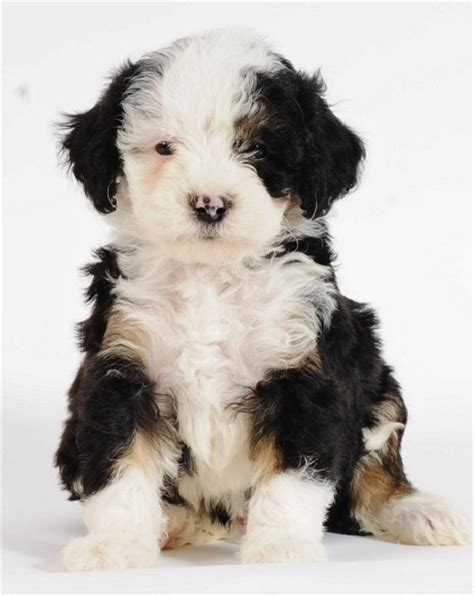 Do Bernedoodles Shed by 1000 Images About Bow Wow On Puppys