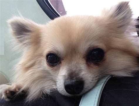 Types Of Small Dogs With Hair by Types Of Dogs Breeds Picture