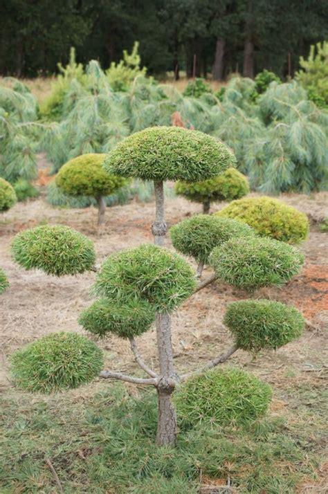 pomeranian oregon 13 best images about front yard on oregon shrubs and pom poms