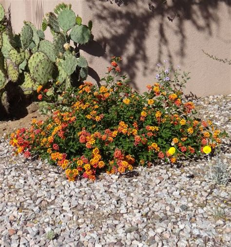 is lantana poisonous to dogs trailing lantana weeping lantana what s blooming