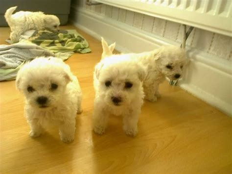 miniature bichon frise puppies for sale miniature bichon frise can be seen doncaster south pets4homes